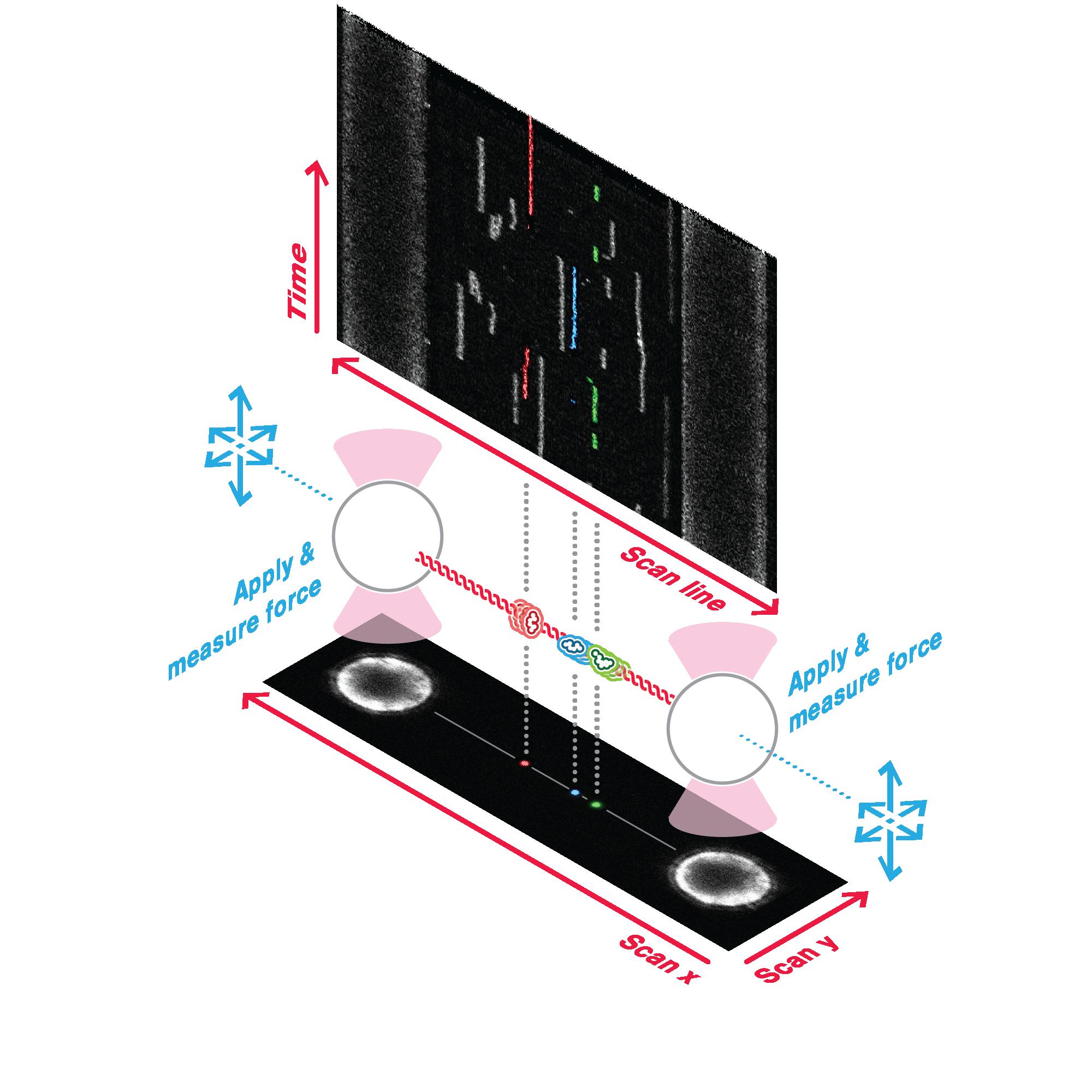 Optical Tweezers – Fluorescence Microscopy