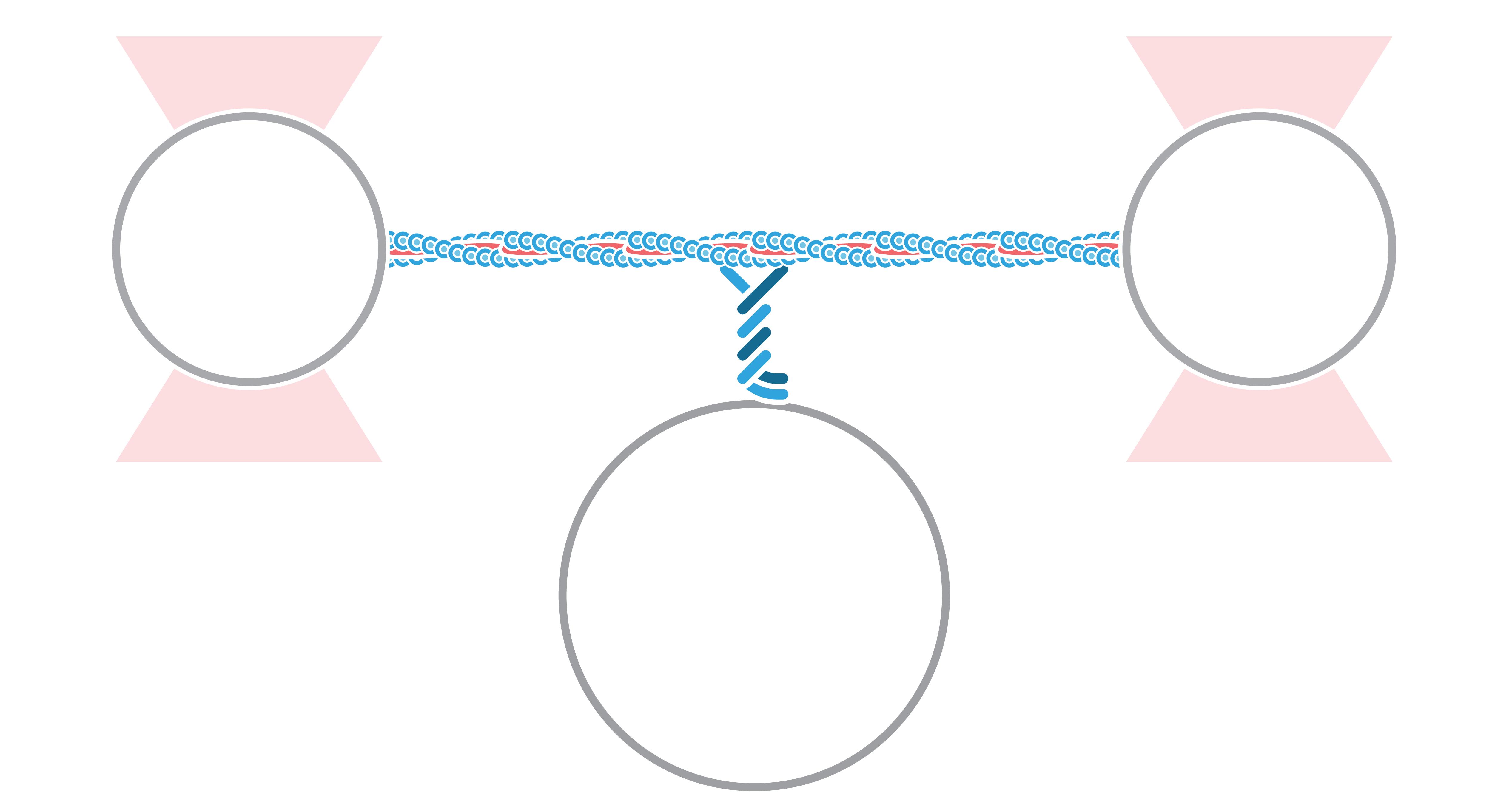 C Trap Motor on Actin Three Bead Assay