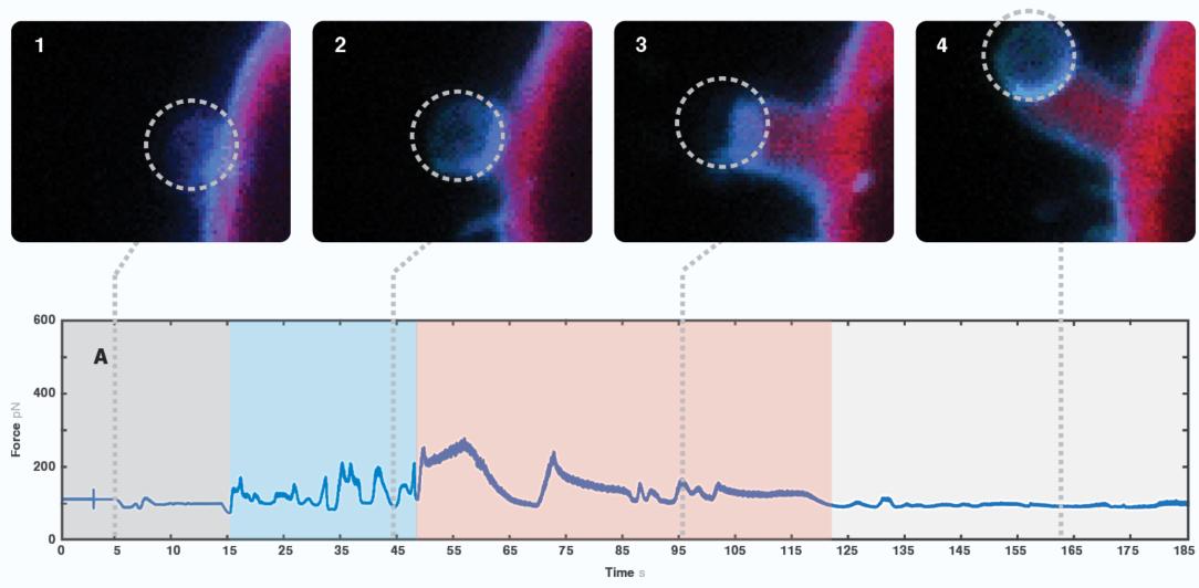 Cell receptor responses C-Trap optical tweezers fluorescence microscopy