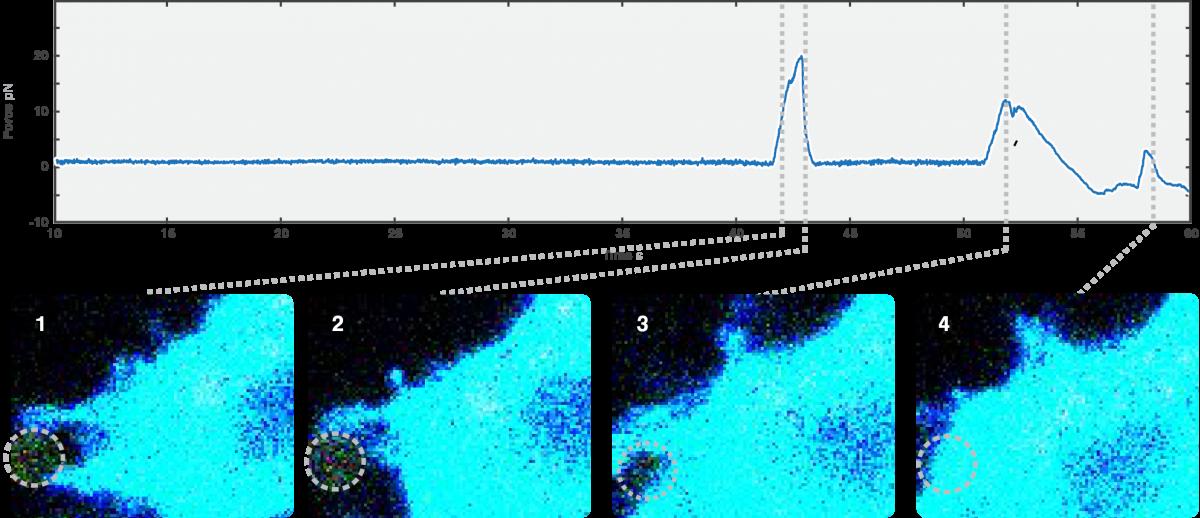 Filopodia formation_C Trap_optical tweezers fluorescence microscopy correlated data