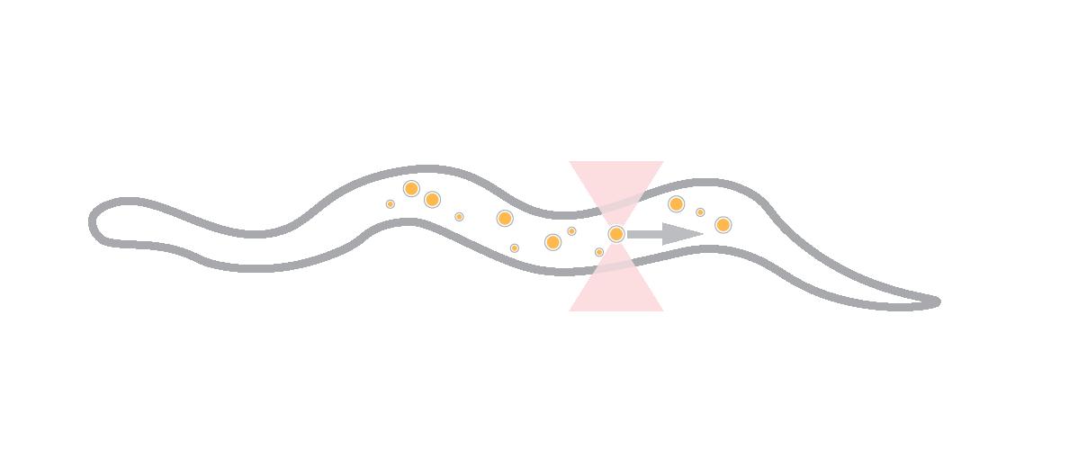 In vivo droplet manipulation C-Trap optical tweezers fluorescence microscopy experiment