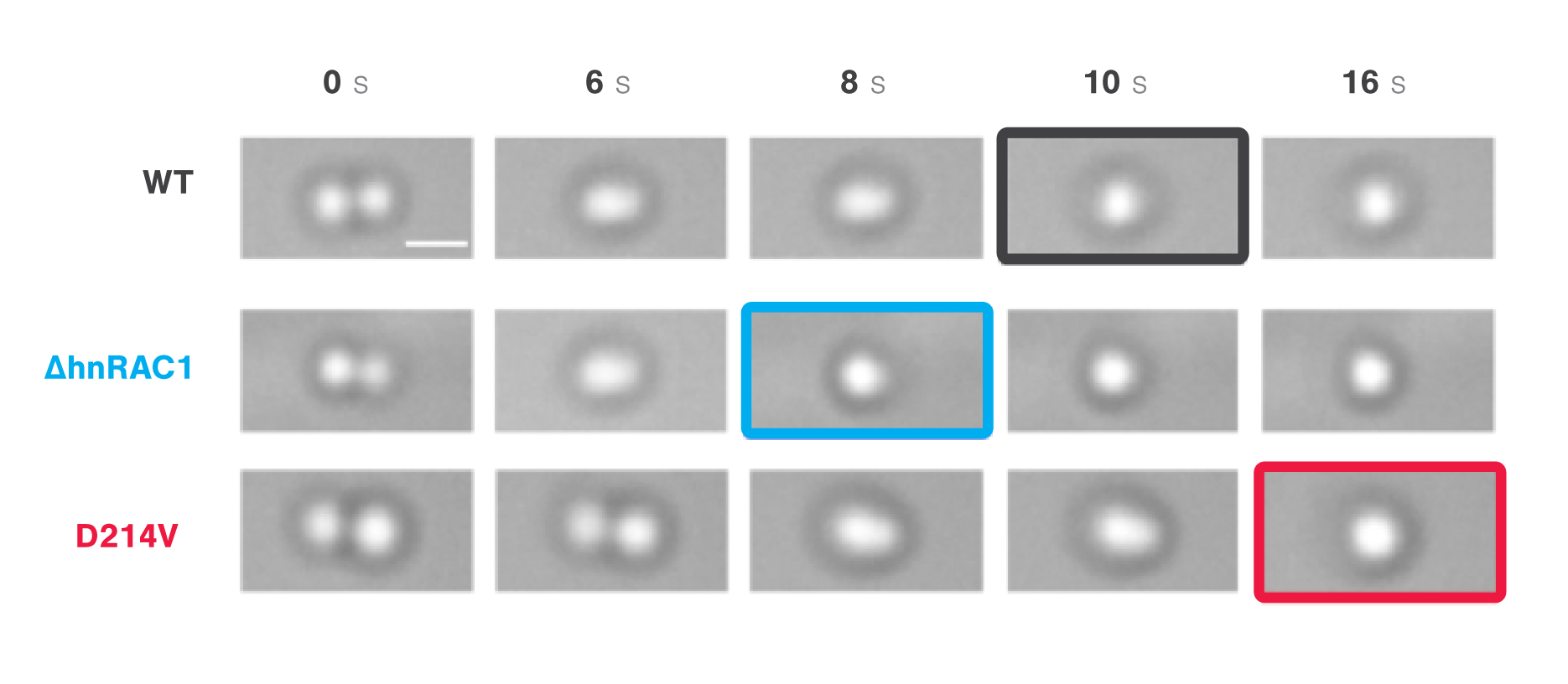 Timelapse images comparing the times to relaxation of protein droplets consisting of wild types during optical tweezer induced droplet fusion v2
