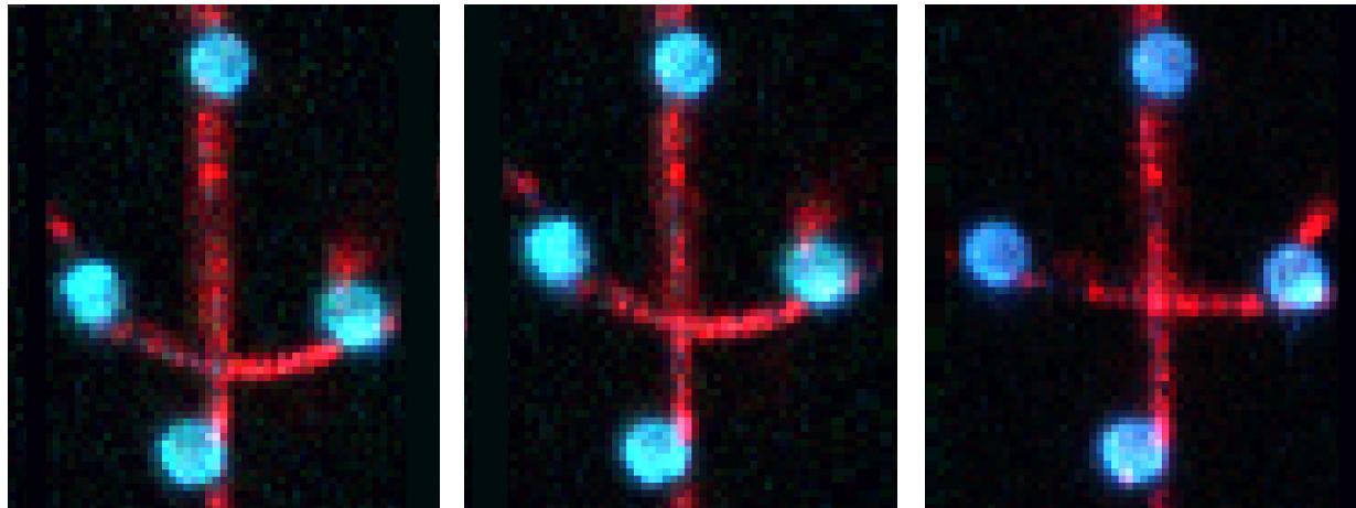 microtubule dragging quadruple optical tweezers fluorescence microscopy microfluidics